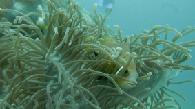 ANEMONE FISH by Rikke'