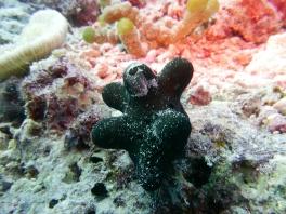 Maldives Sponge Snail by Rikke