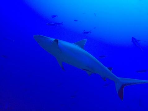 SHARK Grey reef by Cat