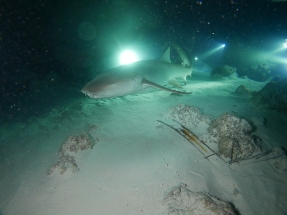 SHARK nurse shark by Rikke 2
