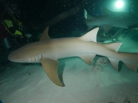 SHARK nurse shark by Rikke