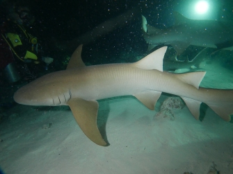 SHARK nurse shark by Rikke