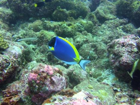 SURGEON FISH powder blue by Cat