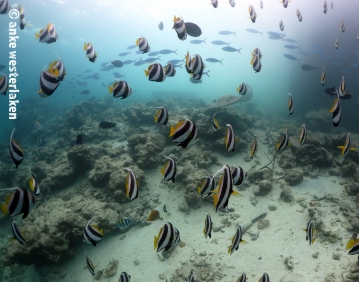 Fuseliers passing in the back at Fish Tank Maldives