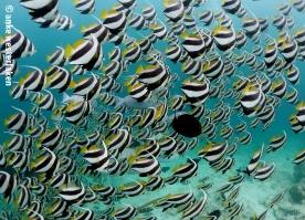 Schooling Banner fish hanging around -)