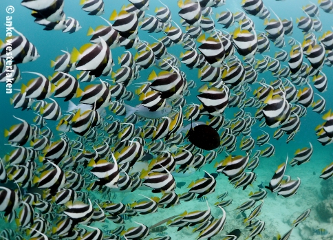 Schooling Banner fish hanging around -)