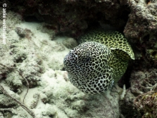 A glorious honey comb moray checking us out