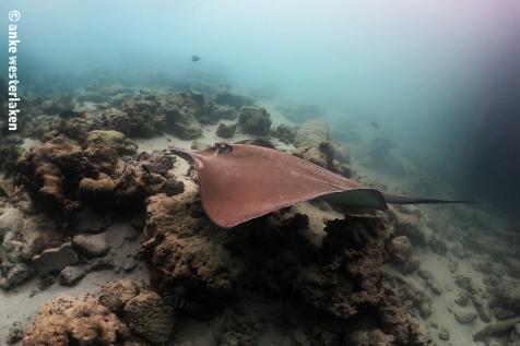 tumming whip ray passing at Fish Tank Maldives