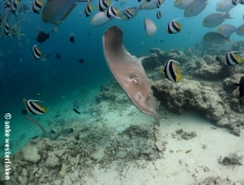 A ray without fear or interest in divers at Fish Tank Maldives