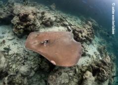 Pink whip ray passing by at Fish Tank Maldives
