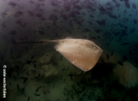 Fly-by... stunning ray