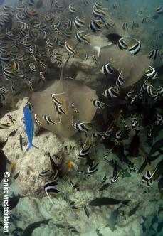 Stunning whip rays at Fish Tank Maldives