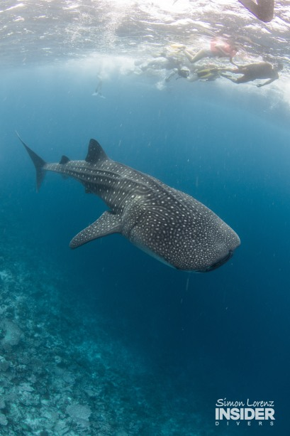 WHALE SHARK Maldives 2017-08 Simon Lorenz-3036