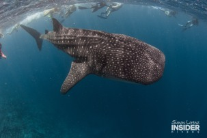WHALE SHARK Maldives 2017-08 Simon Lorenz-3084