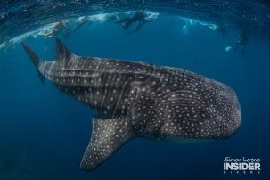 WHALE SHARK Maldives 2017-08 Simon Lorenz-3085