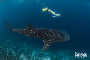 WHALE SHARK Maldives 2017-08 Simon Lorenz-3188