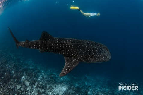 WHALE SHARK Maldives 2017-08 Simon Lorenz-3190