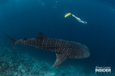 WHALE SHARK Maldives 2017-08 Simon Lorenz-3191