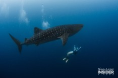 WHALE SHARK Maldives 2017-08 Simon Lorenz-3251